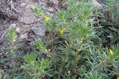 Ajuga chamaepitys, abiga, ajuga, bugle petit-pin, Chamepitys, Gelber Günsel, ground-pine, hierba felera, Iva artritica, yellow bugle