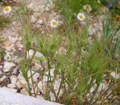 Aegilops geniculata, Cerere comune, Gramigna stellata, Grano delle formiche, Ovate Aegilops, ovate goat grass, ovate goatgrass