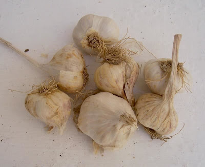 Allium sativum, Aglio comune, alho, alho-bravo, alho-comum, alho-hortense, cultivated garlic, garlic
