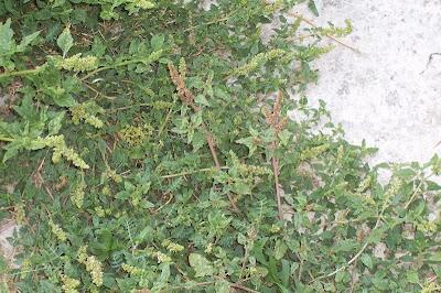 Amaranthus deflexus, amarante couchée, Amaranto prostrato, amaranto rastrero, Argentine amaranth, bredo-perene, deflexed amaranth, Herabgebogener Amarant, large-fruit amaranth, largefruit amaranth, low amaranth, Perennial Pigweed