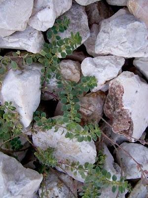 Andrachne telephioides, Andrachne, Porcellana greca