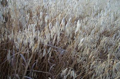 Avena sativa, aveia, aveia-amarela, avena, Avena comune, avena común, avena roja, avoine byzantine, avoine cultivée, Biada, common oat, Common oats, Hafer, ma-karasu-mugi, Mittelmeerhafer, oat, oatgrass (common)