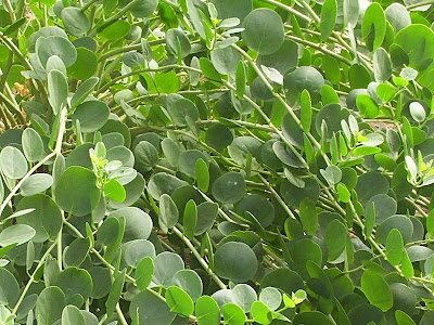 Capparis spinosa, alcaparra, alcaparro, caper, Caper Plant, caperbush, Cappero comune, Common Caper, câprier, Kapernstrauch