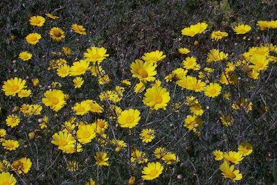 Chrysanthemum coronarium, Crisantemo giallo, crowndaisy