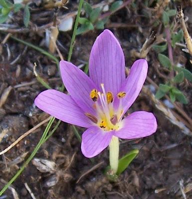 Colchicum cupanii, Colchico di Cupani, Mediterranean Meadow Saffron