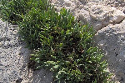 Crithmum maritimum, Bacicci, Cretano, fenouil marin, Finocchio marino, funcho-do-mar, hinojo marino, Meerfenchel, rock samphire, samphire, Sea Fennel, sea-fennel