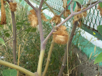 Datura innoxia, angel's trumpet, desert thornapple, Noce metella, Recurved Thorn Apple, sacred datura, Stramonio metello