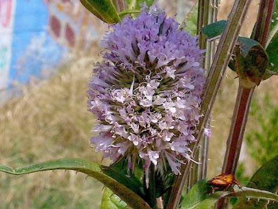 Dipsacus fullonum, common teasel, Fuller's teasel, Scardaccione, Scardaccione selvatico, teasel, Teazel, venuscup teasle, wild teasel