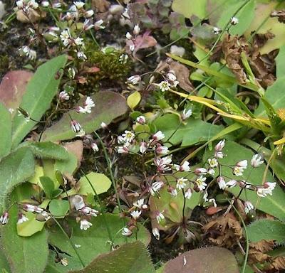 Erophila verna, Draba primaverile, drave printanière, Frühlings-Hungerblümchen, Whitlow Grass
