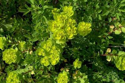 Euphorbia helioscopia, Euforbia calenzuola, euphorbe réveil matin, lechetrezna común, leiteira-do-sol, madwoman's milk, maleiteira, maleteira, Sonnen-Wolfsmilch, sun spurge, todaigusa, Wolf's Milk
