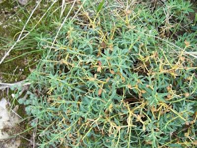 Euphorbia spinosa, Euforbia spinosa, Spiny Spurge