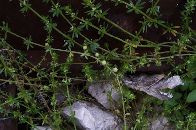 Galium verrucosum, Caglio verrucoso, Southern Cleavers, warty bedstraw