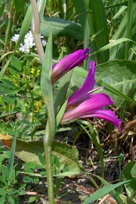 Gladiolus italicus, common sword-lily, espadana-das-searas, field gladiolus, gladiolo de campo, Gladiolo dei campi, glaïeul des moissons, Italian gladiolus, Saat-Siegwurz, Spadacciuola, Spaderella, Spadini