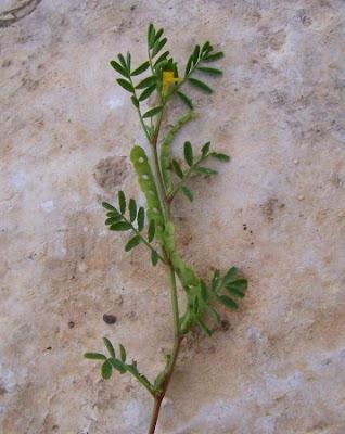 Hippocrepis unisiliquosa, Budellina, Sferracavallo minore, Single Flowered Horseshoe Vetch