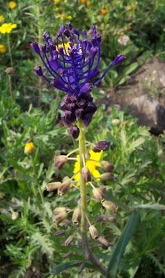 Leopoldia comosa, Cipollaccio, Giacinto dal pennacchio, Lampagione