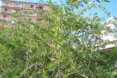 Lycium europaeum, boxthorn, European matrimony-vine, European Tea Tree, Spina santa comune