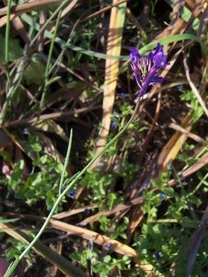 Linaria pelisseriana, Jersey Toadflax, Linajola di Pellicier