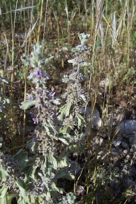 Marrubium alysson, Marrubio del Levante