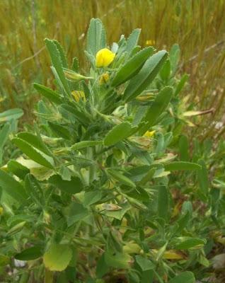Ononis breviflora, Ononide a fiori brevi