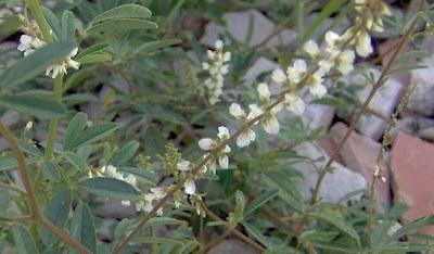 Melilotus alba, Meliloto bianco, white sweetclover