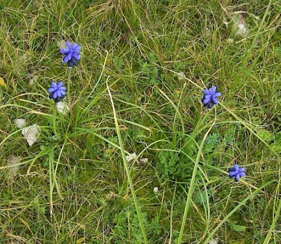 Muscari neglectum, cebollita de milano, Grape Hyacinth, grape-hyacinth, Muscari ignorato, muscari à grappes, musk-hyacinth, nutmeg-hyacinth, starch grape hyacinth, starch grapehyacinth, starch-hyacinth, Übersehene Träubelhyazinthe