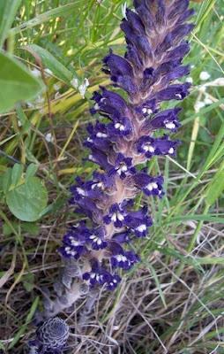 Orobanche lavandulacea, erva-toura, Lavender Broomrape, Succiamele della Psoralea