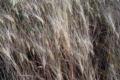 Triticum durum, blé dur, durum wheat, Durumweizen, Glasweizen, Grano duro, hard wheat, kamut, macaroni wheat, Makkaroniweizen, trigo moruno, trigo-duro, ying li xiao mai