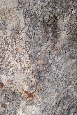 Ceratonia siliqua, alfarrabeira, alfarrobeira, algarrobo, carob, caroba, caroube, caroubier, Carrubo, Johannisbrotbraum, Locust Pods, locust-bean, St. John's bread, St. John's-bread