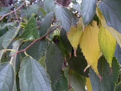 Celtis australis, Bagolaro comune, European hackberry, European nettletree, honey-berry, lotetree, Mediterranean hackberry, netelboom, nettletree, Southern Nettle Tree