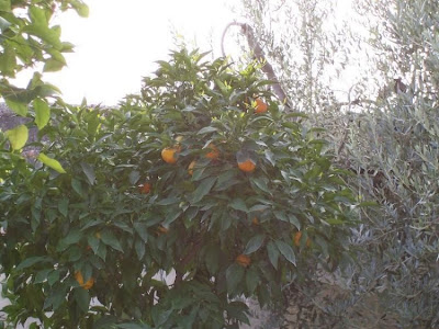Citrus sinensis, Apfelsine, Apfelsinenbaum, Arancio, arancio dolce, blood orange, laranja doce, laranja-amarga, laranja-azeda, laranja-bigarade, laranja-da-terra, laranja-de-sevilha, laranjeira, laranjeira doce, naranja