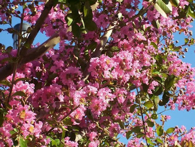 Lagerstroemia indica, crape myrtle, crapemyrtle, crepe myrtle, crepeflower, escumilha, Lagerstremia