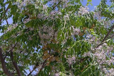 Melia azedarach, Albero da rosari, amargoseira-do-Himalaio, arbre à chapelets, bessieboom syringa, chinaberry, Chinaberry tree, Chinaberrytree, chuan liang zi, cinamomo, Indian lilac, indischer Zedrachbaum, lelah, lilas des Indes