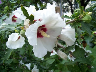 Hibiscus syriacus, althea, altéia-arbustiva, Dialtea, echter Roseneibisch, hachisu, hibisco-colunar, hibisco-da-Síria, hibiscus de Syrie, Ibisco cinese, mukuge, Rosa angelica, rosa-de-sharão, rose of Sharon, rose-of-Sharon