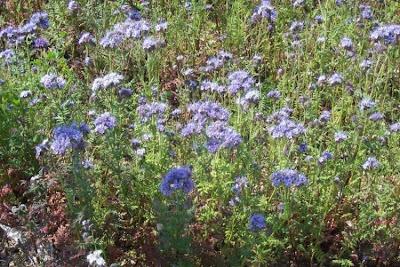 Phacelia tanacetifolia, Büschelschön, facelia, fiddleneck, lacy phacelia, Lacy Scorpion Weed, lacy scorpion-weed, phacelia, phacélie, Phazelie