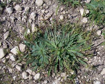 Plantago serraria, Piantaggine seghettata, Toothed Plantain