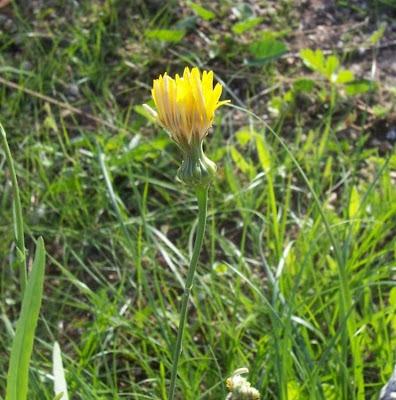 Reichardia picroides, Caccialebbra, Caccialepre, common brighteyes, Common Reichardia, Grattalingua comune, Latticino