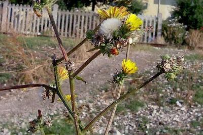 Picris hieracioides, Aspraggine comune, Aspraggine spinosetta, Gemeines Bitterkraut, hawkweed oxtongue, Lattajola, parracas, picris fausse-épervière, rapa-saias, serralha