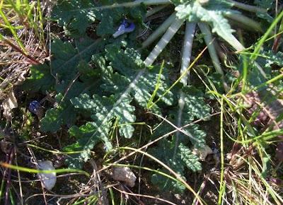 Salvia multifida, Salvia celestina