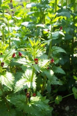 Scrophularia peregrina, Mediterranean figwort, Nettle Leaved Figwort, Scrofularia annuale