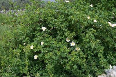 Rosa canina, common briar, dog rose, dogbrier, eglantier commun, hondsroos, Hunds-Rose, Rosa selvatica comune, rosier des chiens, Wild Briar