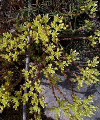 Sedum anopetalum, Borracina biancastra