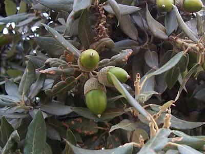 Quercus ilex, chêne vert, Elce, encina, evergreen oak, holly oak, holm oak, Ilici, Leccio