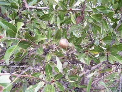 Pyrus amygdaliformis, Almond Leaved Pear, almond-leaf pear, mandelblättriger Birnebaum, peral amigdaliforme, pero amigdaliforme, Pero mandorlino, pfirsichblättrige Birne, poirier aux feuilles d'amande
