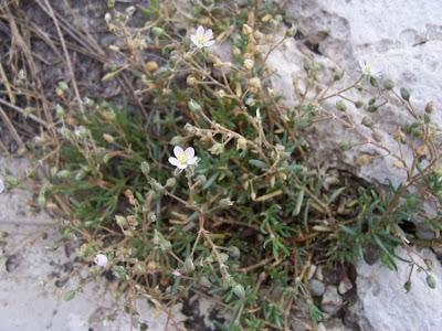 Spergularia marina, lesser sea-spurrey, saltmarsh sand-spurrey, Sea Spurrey, seaside sandwort, spergulaire des arais salés, Spergularia marina