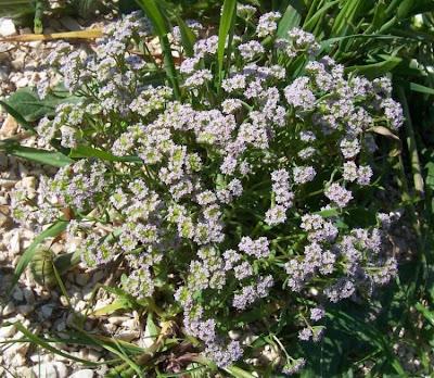 Valerianella pumila, Gallinella solcata