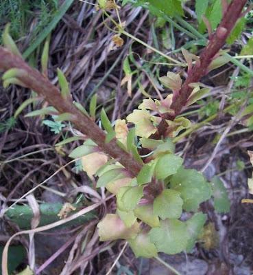Umbilicus horizontalis, Narrow Navelwort, Ombelico di Venere minore