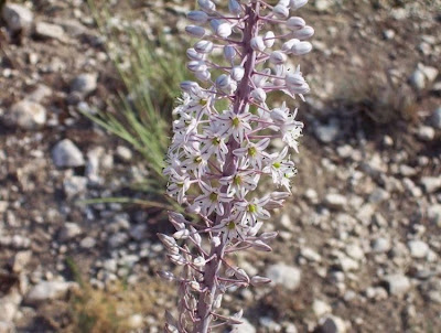 Urginea maritima, Meerzwiebel, red squill, red-squill, Scilla marittima, sea-onion, sea-squill, squill, Squilla, White Squill
