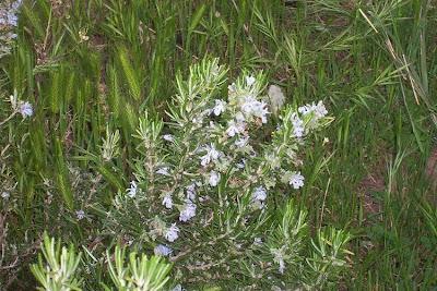 Rosmarinus officinalis, alecrim, osmarini, Osmarino, Ramerino, romarin, romero, rosemary, Rosmarin, rosmarino, Smarino, Usmarino