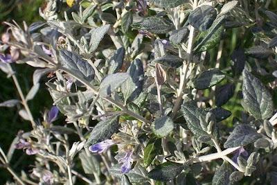 Teucrium fruticans, Camedrio femmina, shrubby germander, tree germander