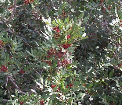 Pistacia lentiscus, almecegueira, arbre au mastic, aroeira, Chios mastictree, Lentischio, lentisco, lentisque, mastic, mastic tree, mastictree, Mastixbaum, Pistache, Sondrio, Stinco